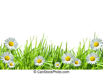 Grass with white daisies against a white background