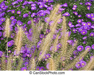 Grasses and Mums - This is a shot of some goldenrod tall...