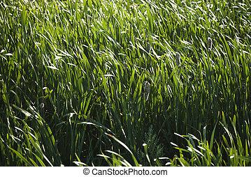 grasses., ożypałki