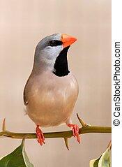 Grassfinch Bird - Heck's Grassfinch bird perched on a leafy ...