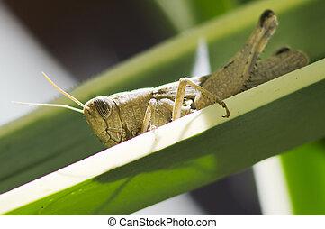 Grasshopper - A close up of the grasshopper on a green leaf....