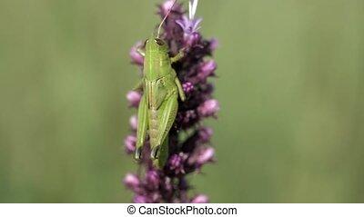 Grasshopper clings to a flower on the prairie.