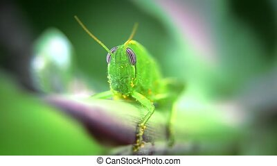 grasshopper close up - Insects world. Grasshopper macro...