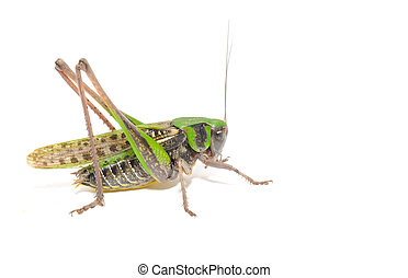 Grasshopper Close-up Isolated on White Background