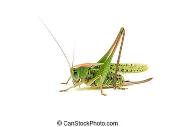 Grasshopper closeup on white background. Side view.