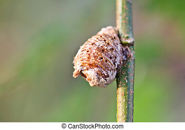 Grasshopper egg
