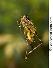 Grasshopper - grasshopper in a jump in the garden