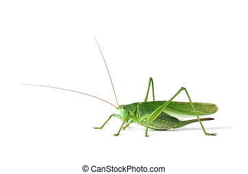 Grasshopper - Great Green Bush-Cricket (tettigonia ...