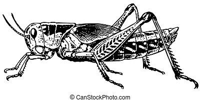 Grasshopper half face isolated on white background