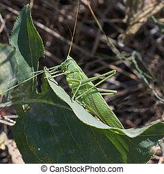 Grasshopper hiding on a grass. - Grasshopper hiding on a...