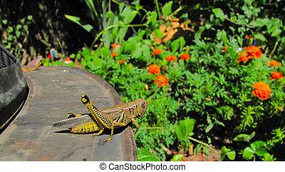 Grasshopper in Garden