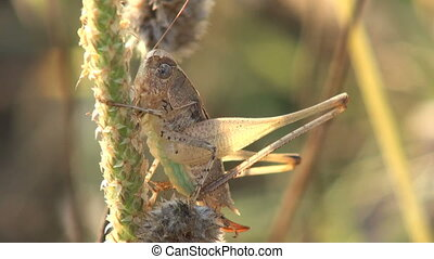 grasshopper in the grass at sunrise