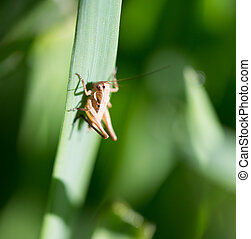 grasshopper in the grass outdoors. macro