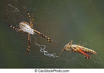 Grasshopper in the web - A banded argiope spider has caught...