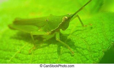 Grasshopper in their natural habitat closeup - Video 1080p -...