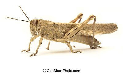 grasshopper isolated on a white background