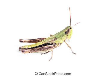 grasshopper isolated on white