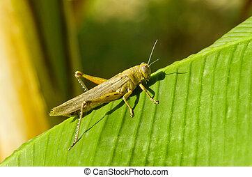 Grasshopper - Little grasshopper on palm tree leaf