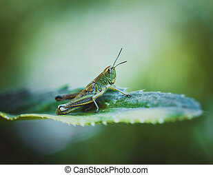 Grasshopper on a leaf on a bright yellow-green background on...