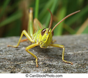 Grasshopper on a piece of wood in the grass