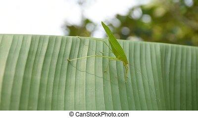 Grasshopper on banana leaf - Grasshopper on green banana...