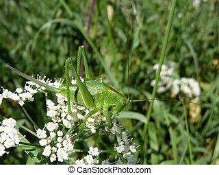Grasshopper on flowers