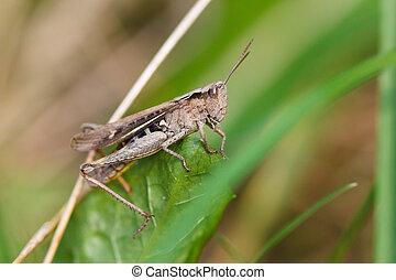 Grasshopper on grass - grasshopper sits on a green blade of...
