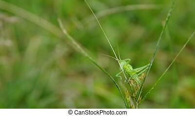 Grasshopper on green grass