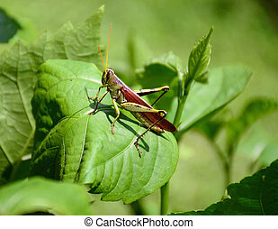 Grasshopper on hibiscus leaves