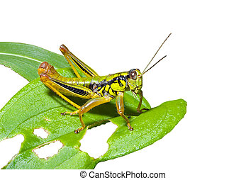 Grasshopper on leaf 2