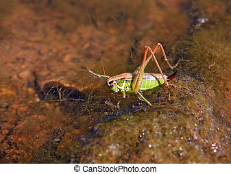 grasshopper on stone amongst water