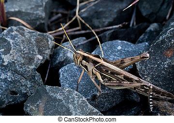 Grasshopper on stone dark close up