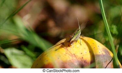 Grasshopper on the apples