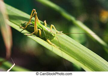 grasshopper on the grass.
