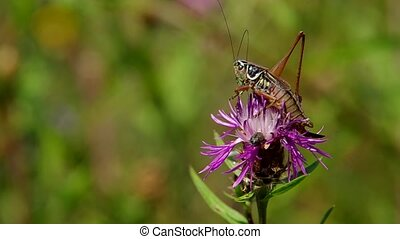 Grasshopper on the thistle - Grasshopper on purple thistle...