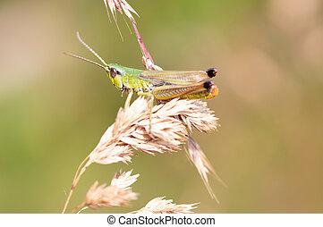 Grasshopper on yellow grass