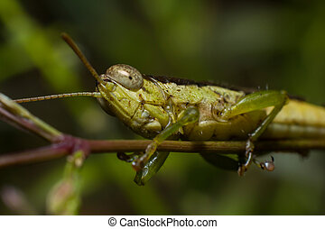 Grasshopper perched on a branch