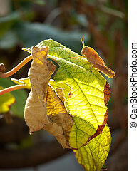 Grasshopper pest