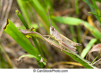 Grasshopper sitting lonely on a blade
