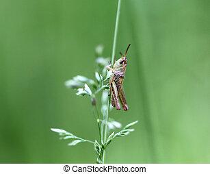 Grasshopper sitting on a blade of grass