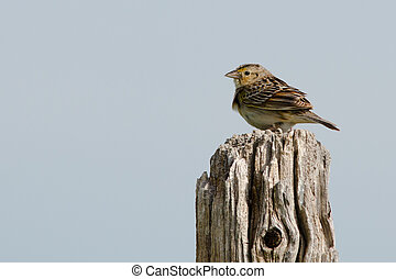 Grasshopper sparrow perching on wooden post.