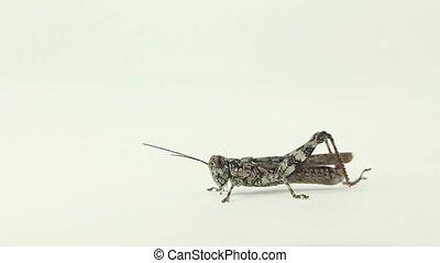 Grasshopper strokes antennae - Lichen grasshoppers takes a...
