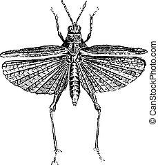 Grasshopper, vintage engraving.