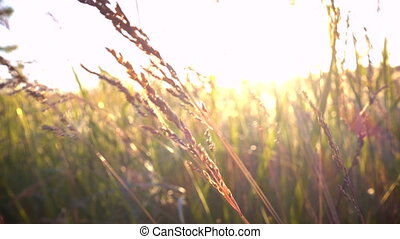 grassland at the wind at the sunset time