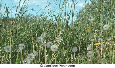 Grassland. - Fluffy dandelion and timothy against blue sky.