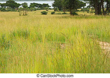 grassland, ugandan, savannah, krycie