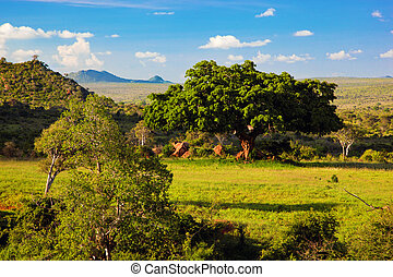 Grassland with rich flora, savanna and bush landscape in Africa. Tsavo West, Kenya.