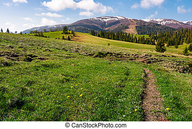 grassy fields on rolling hills. spruce forest on slopes at...
