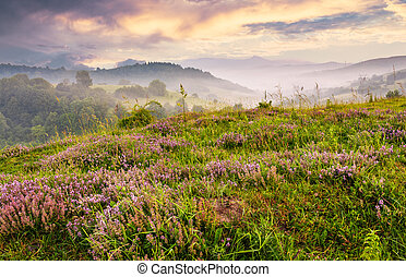 grassy hills with flavoring thyme at foggy sunrise - grassy...