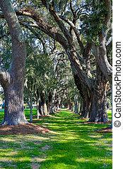 Grassy Lane Through Oaks - A grassy path through rows of old...